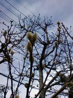 冬芽20130115.jpg