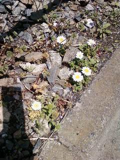 店頭の路に咲く花.jpg